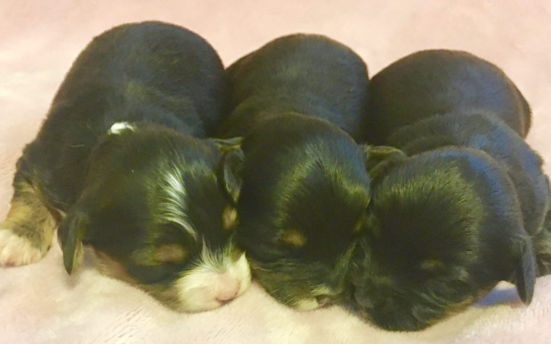 YORKIE-POO PUPPIES BORN 03/03/17