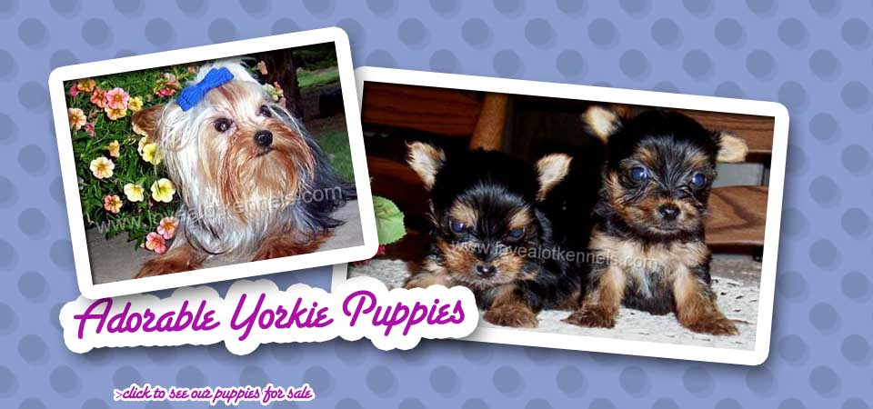 LOVEALOTKENNELS COM | Yorkie Puppies, Maltese Puppies
