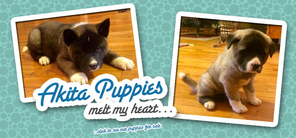 akita_puppies_for_sale